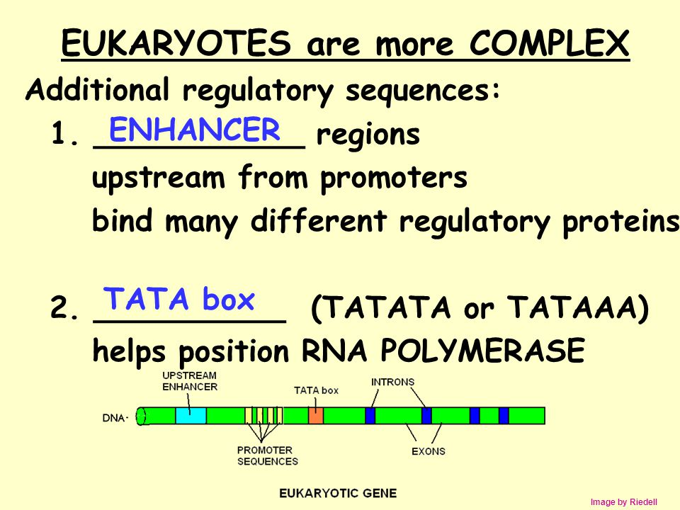 EUKARYOTES are more COMPLEX