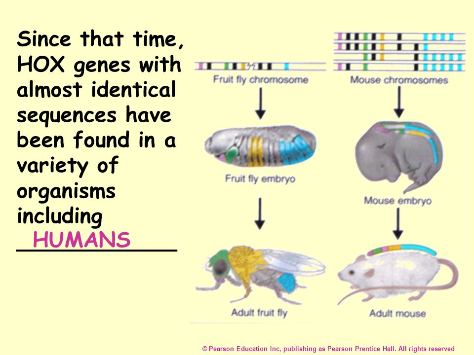 Since that time, HOX genes with almost identical sequences have