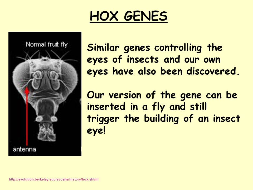 HOX GENES Similar genes controlling the eyes of insects and our own eyes have also been discovered.