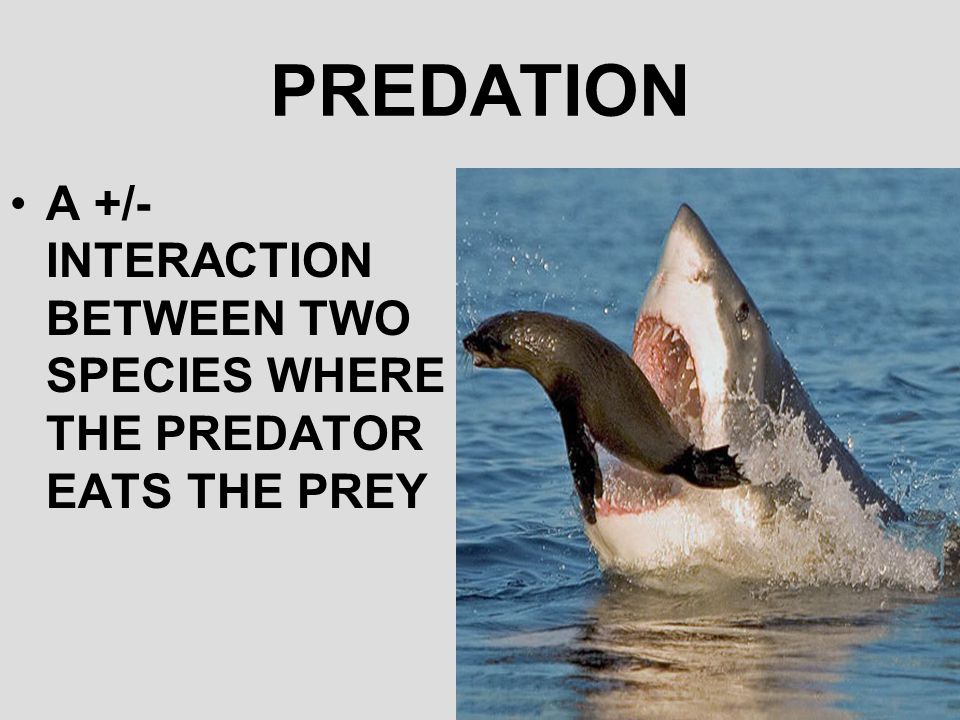 PREDATION A +/- INTERACTION BETWEEN TWO SPECIES WHERE THE PREDATOR EATS THE PREY