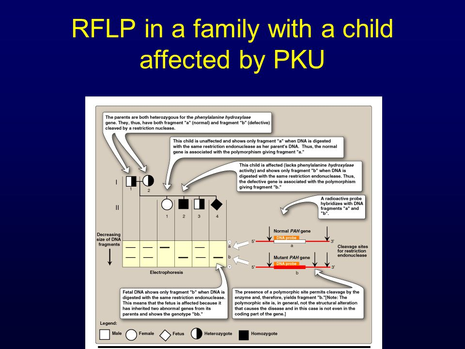 RFLP in a family with a child affected by PKU