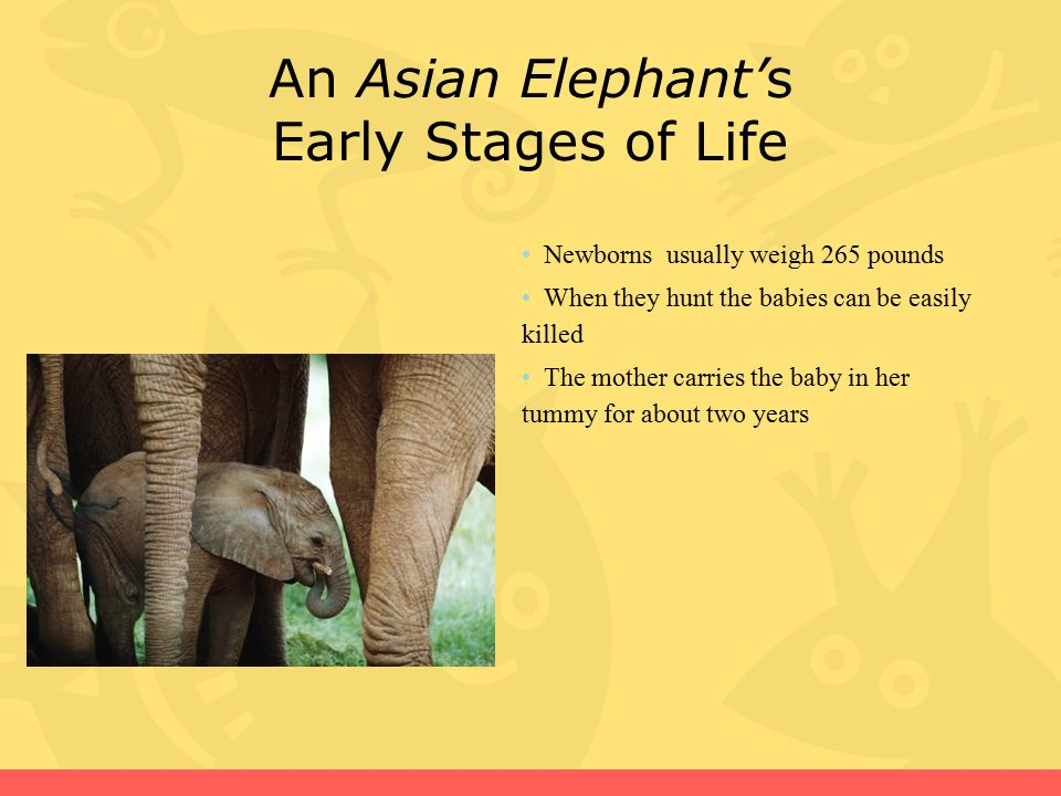 An Asian Elephant's Early Stages of Life
