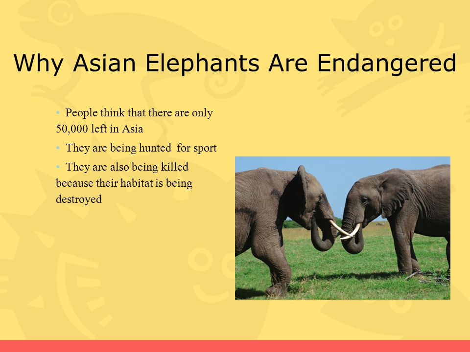 Why Asian Elephants Are Endangered
