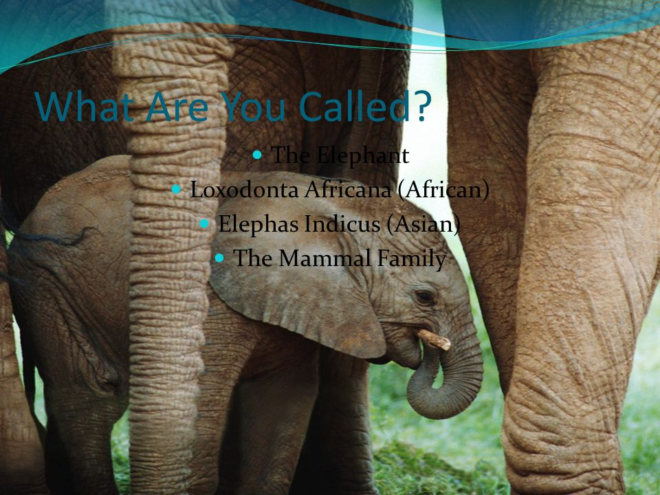 What Are You Called The Elephant Loxodonta Africana (African)