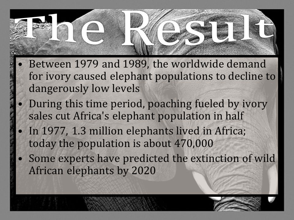 The Result Between 1979 and 1989, the worldwide demand for ivory caused elephant populations to decline to dangerously low levels.