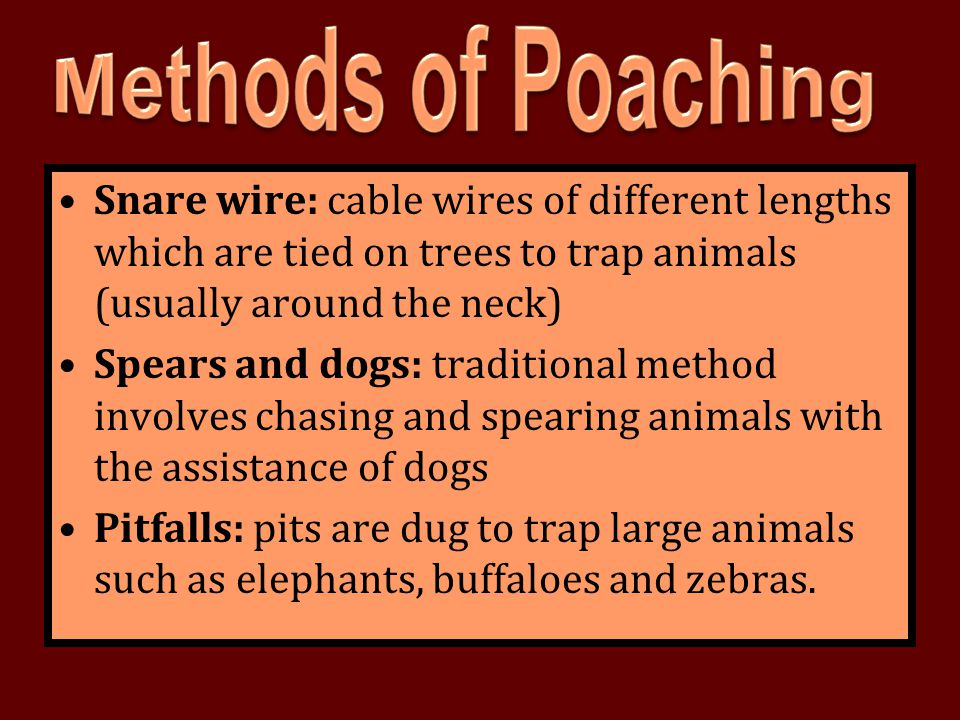 Methods of Poaching Snare wire: cable wires of different lengths which are tied on trees to trap animals (usually around the neck)