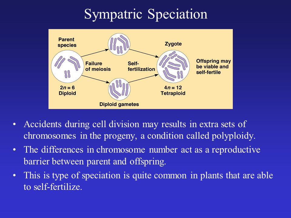 Sympatric Speciation Accidents during cell division may results in extra sets of chromosomes in the progeny, a condition called polyploidy.