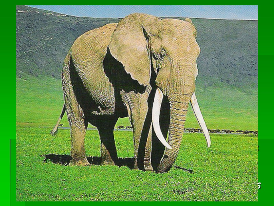 Adaptation to Hunting Tusks of Male African Elephant