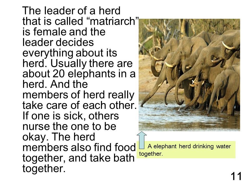 The leader of a herd that is called matriarch is female and the leader decides everything about its herd. Usually there are about 20 elephants in a herd. And the members of herd really take care of each other. If one is sick, others nurse the one to be okay. The herd members also find food together, and take bath together.