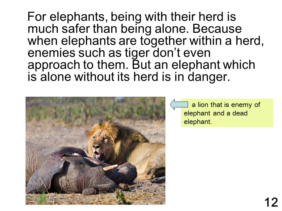 For elephants, being with their herd is much safer than being alone