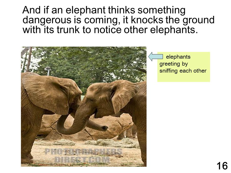 And if an elephant thinks something dangerous is coming, it knocks the ground with its trunk to notice other elephants.