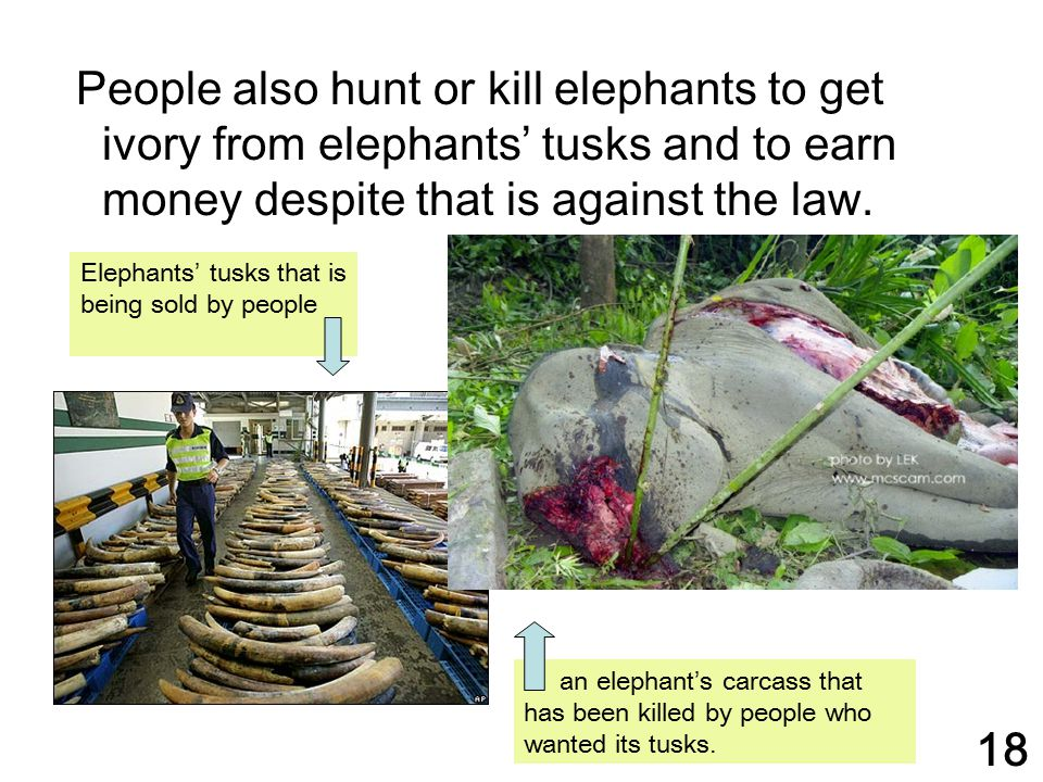 People also hunt or kill elephants to get ivory from elephants' tusks and to earn money despite that is against the law.