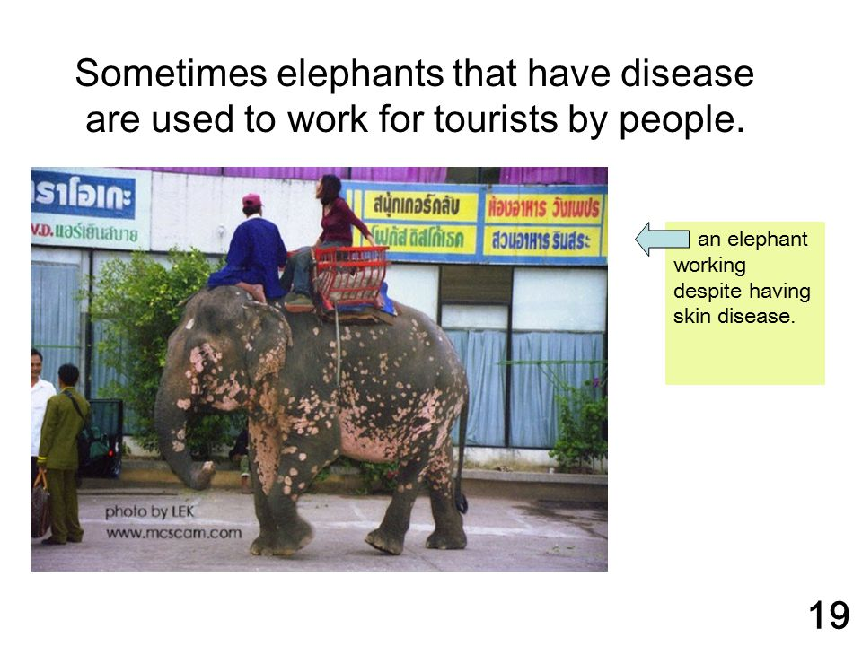 Sometimes elephants that have disease are used to work for tourists by people.