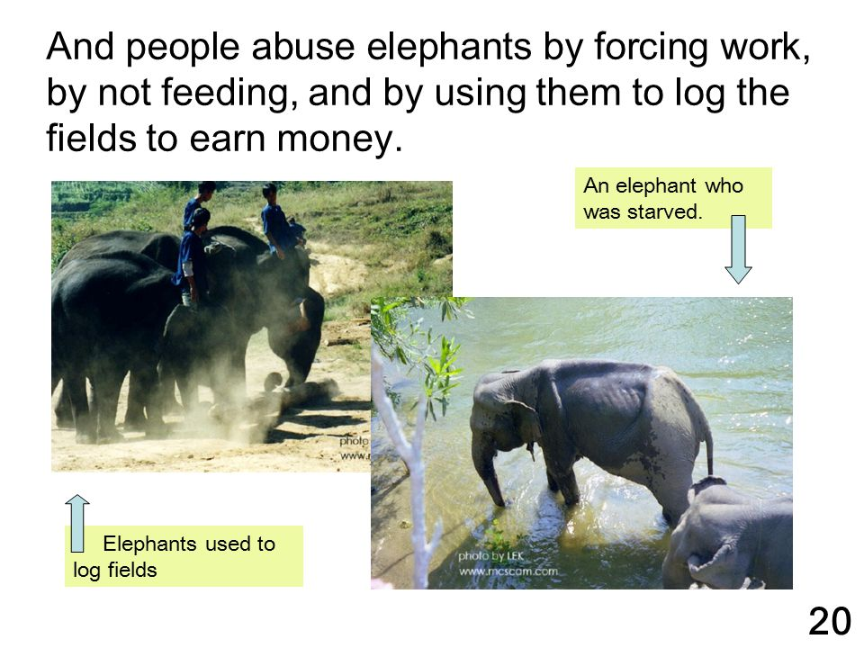 And people abuse elephants by forcing work, by not feeding, and by using them to log the fields to earn money.