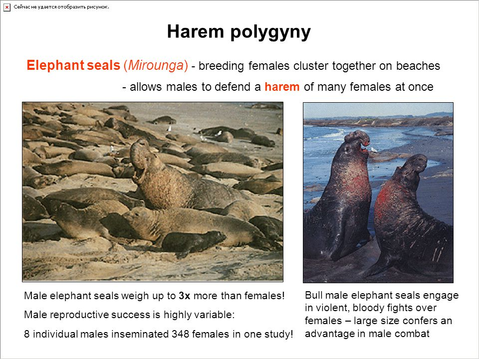 Harem polygyny Elephant seals (Mirounga) - breeding females cluster together on beaches. - allows males to defend a harem of many females at once.