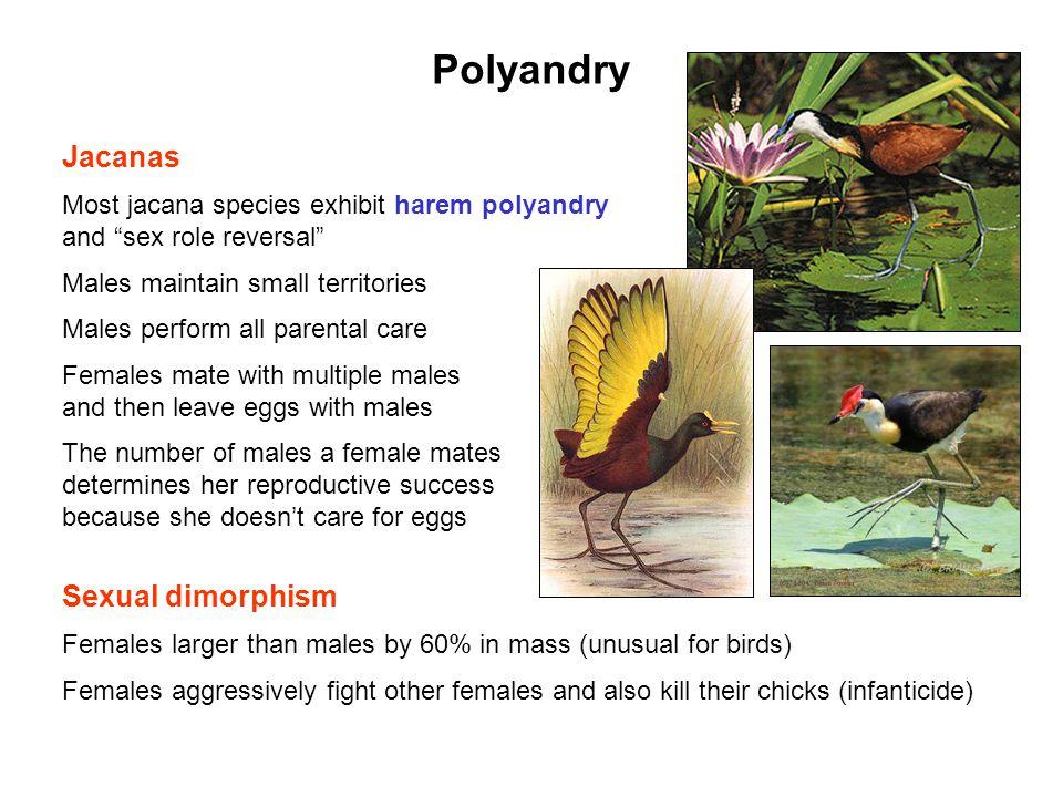 Polyandry Jacanas Sexual dimorphism