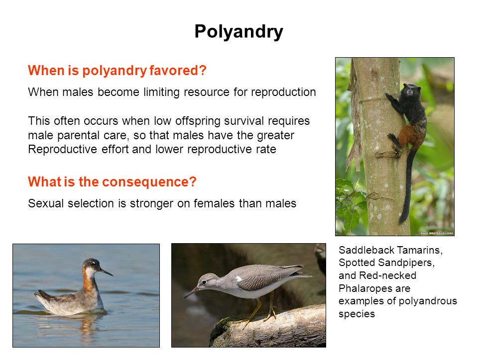 Polyandry When is polyandry favored What is the consequence