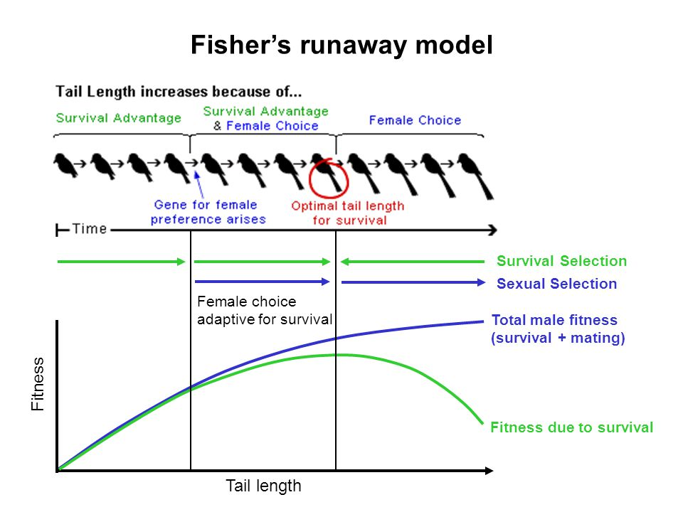 Fisher's runaway model