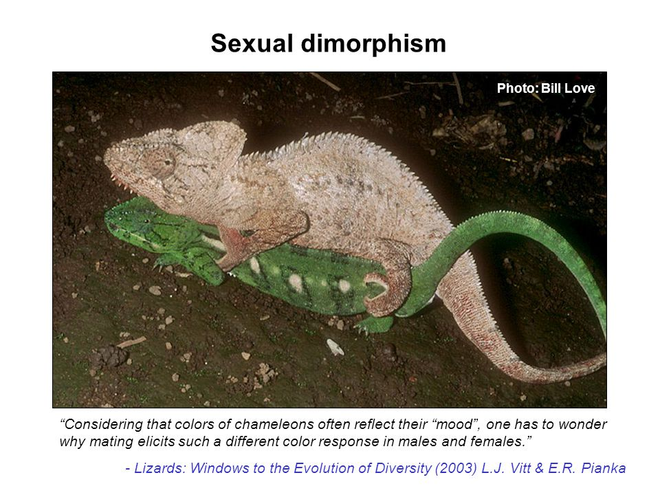 Sexual dimorphism Photo: Bill Love. Considering that colors of chameleons often reflect their mood , one has to wonder.