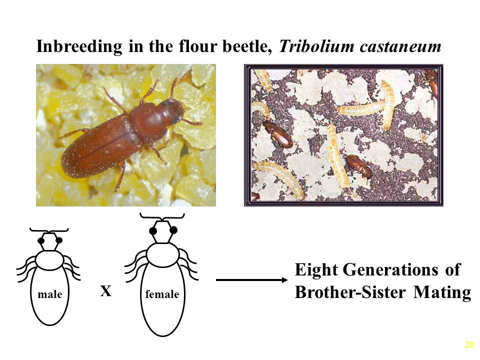 Inbreeding in the flour beetle, Tribolium castaneum