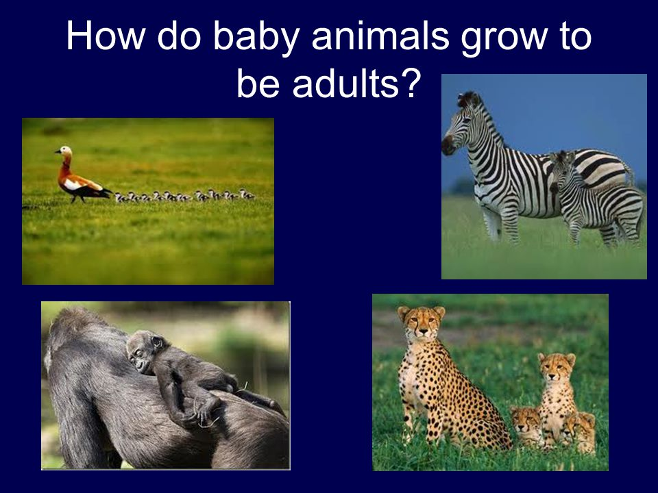 How do baby animals grow to be adults