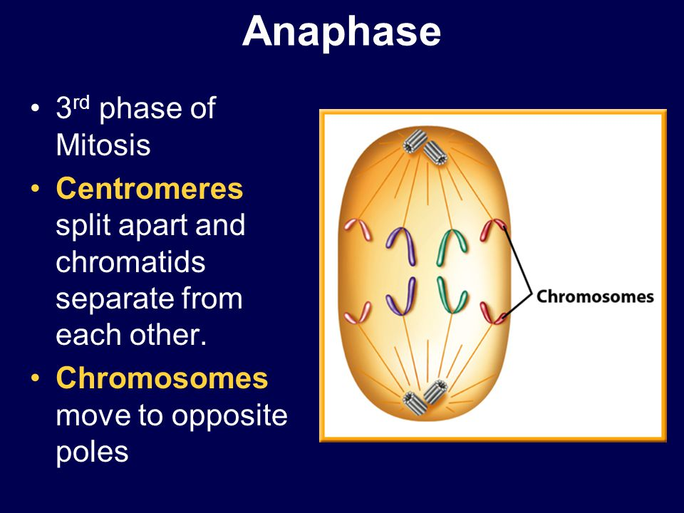 Anaphase 3rd phase of Mitosis