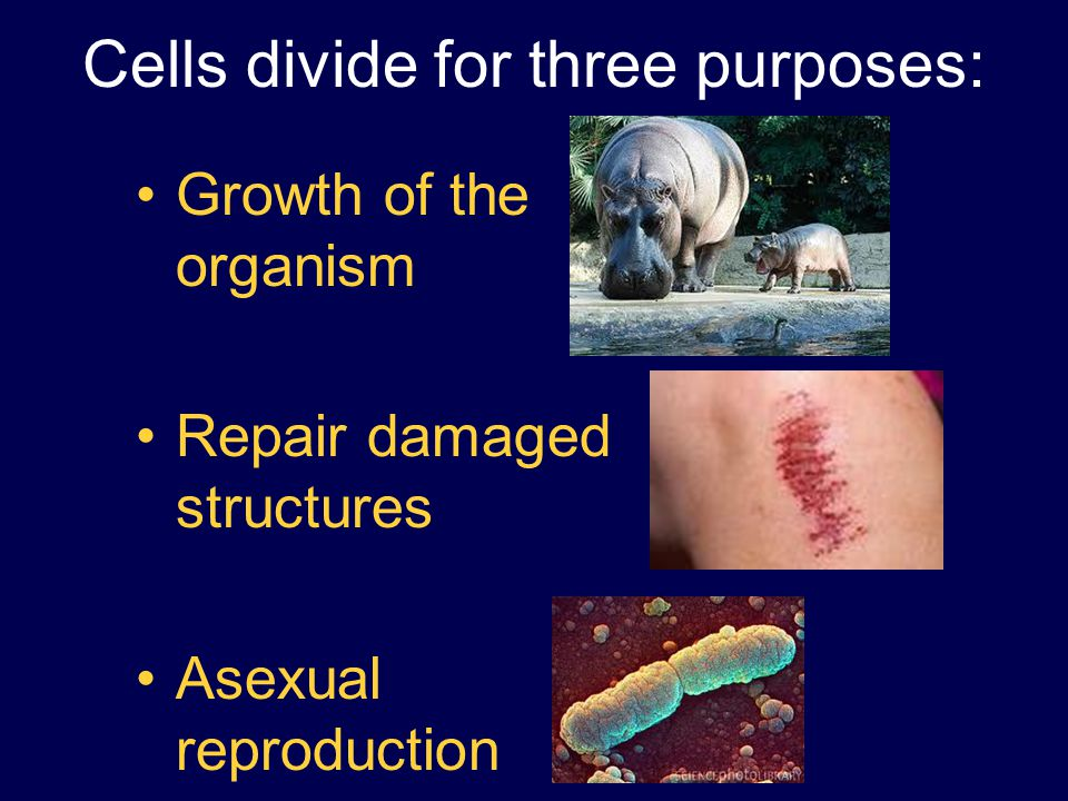 Cells divide for three purposes: