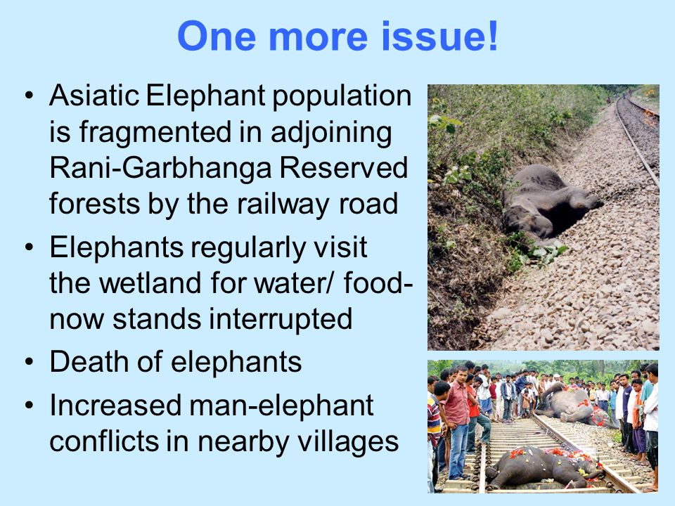 One more issue! Asiatic Elephant population is fragmented in adjoining Rani-Garbhanga Reserved forests by the railway road.