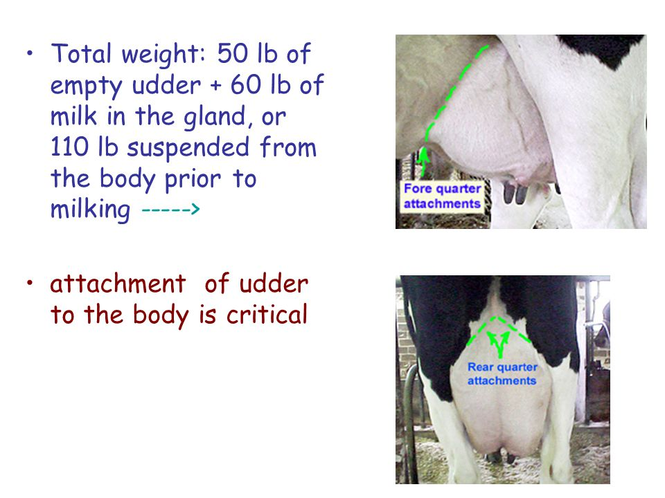 Total weight: 50 lb of empty udder + 60 lb of milk in the gland, or 110 lb suspended from the body prior to milking ----->