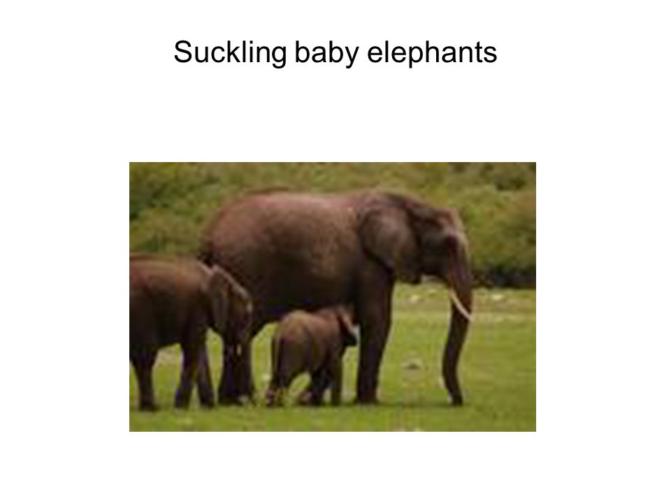 Suckling baby elephants