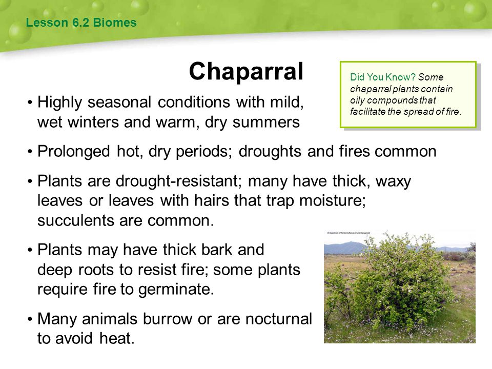 Lesson 6.2 Biomes Chaparral. Did You Know Some chaparral plants contain oily compounds that facilitate the spread of fire.