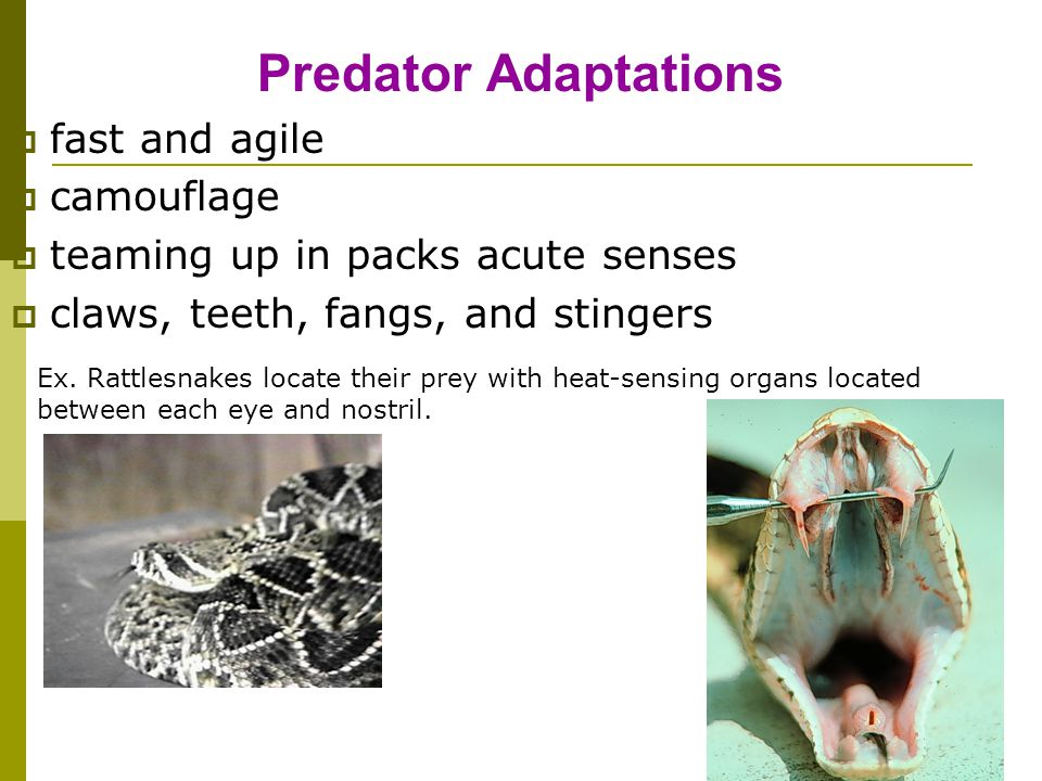 Predator Adaptations fast and agile camouflage