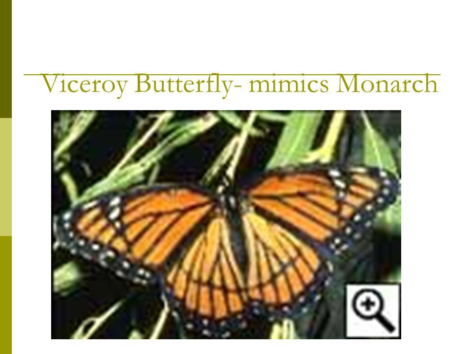 Viceroy Butterfly- mimics Monarch