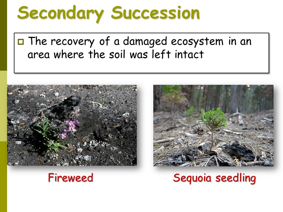 Secondary Succession The recovery of a damaged ecosystem in an area where the soil was left intact.