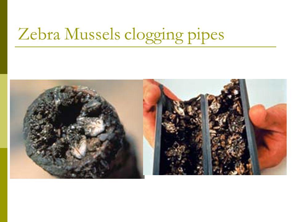 Zebra Mussels clogging pipes