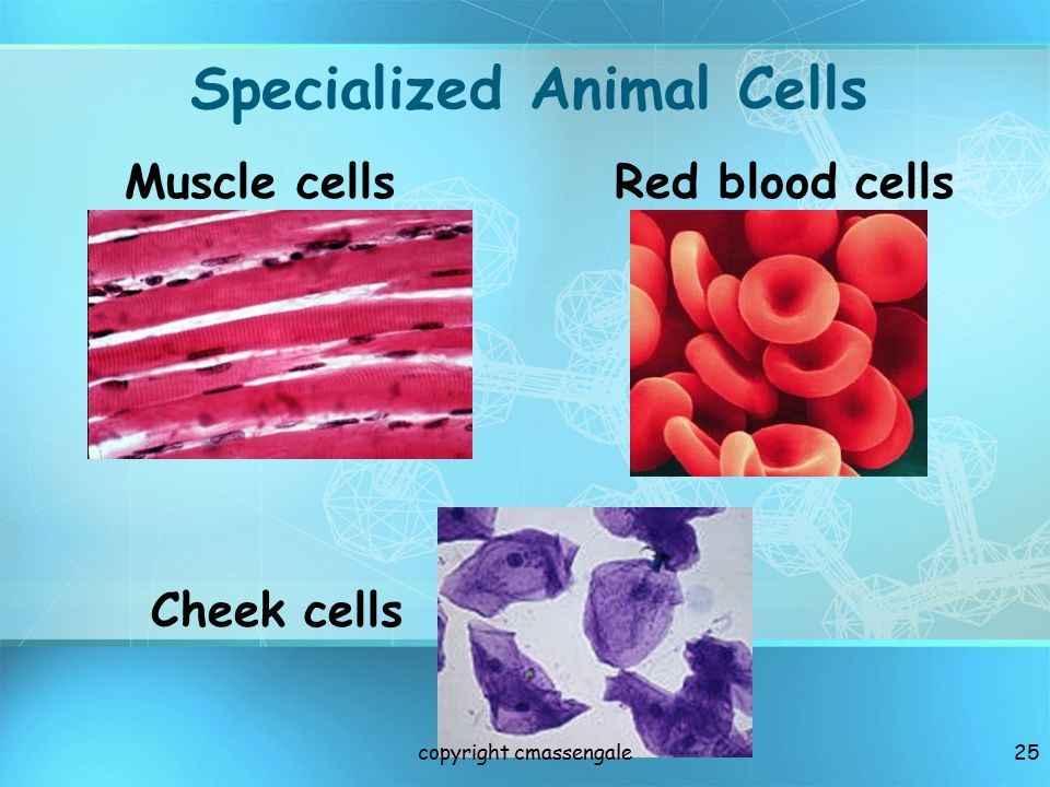 Specialized Animal Cells