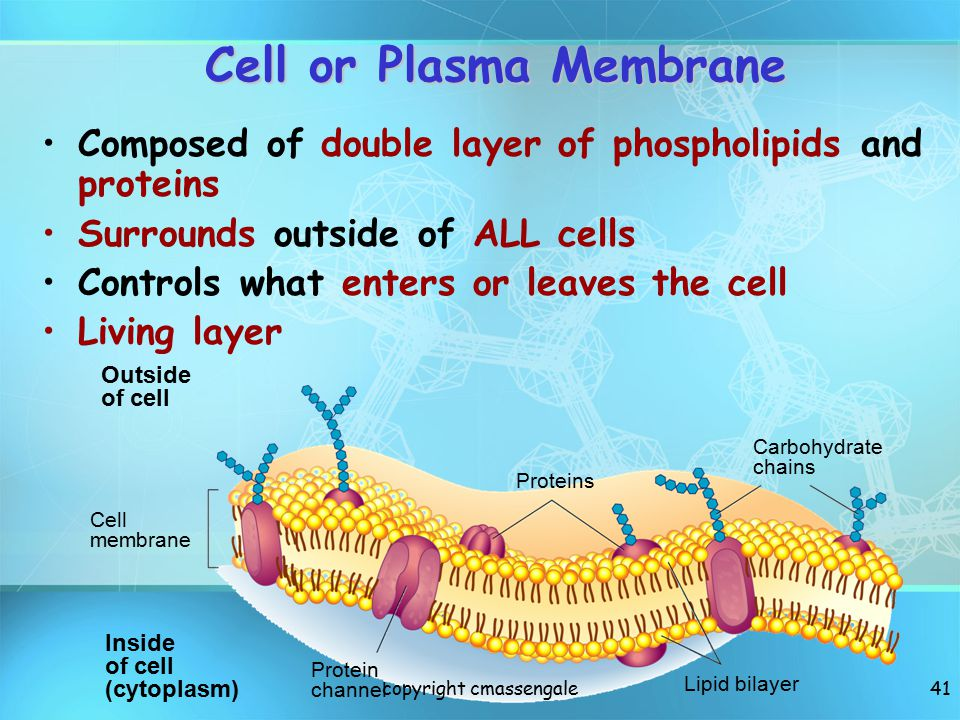 Cell or Plasma Membrane