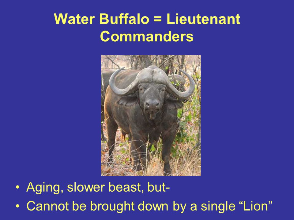 Water Buffalo = Lieutenant Commanders