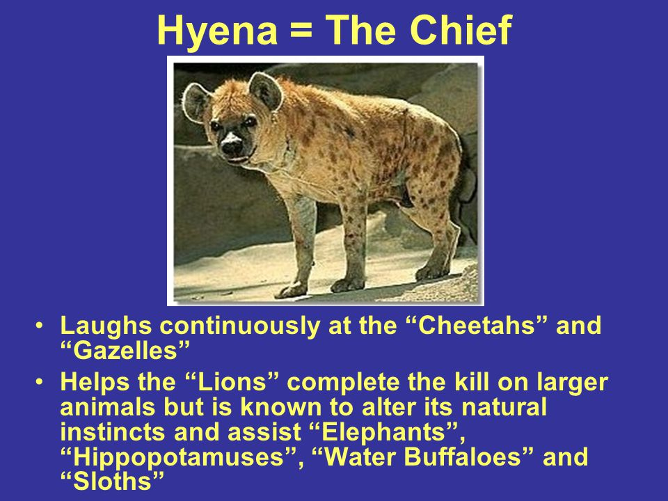 Hyena = The Chief Laughs continuously at the Cheetahs and Gazelles