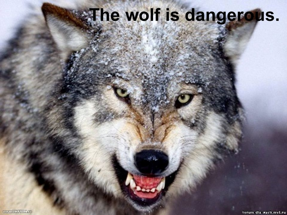 The wolf is dangerous.