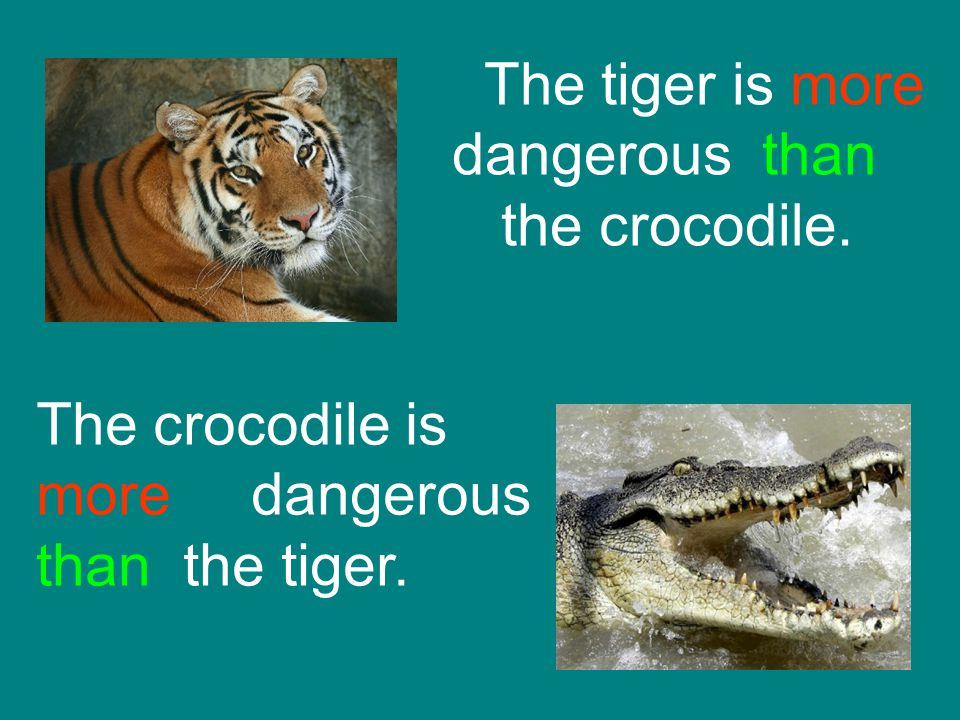 The tiger is more dangerous than