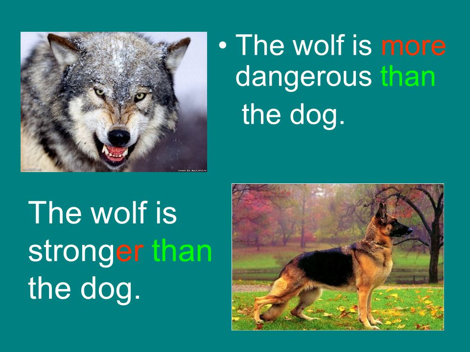 The wolf is stronger than the dog.
