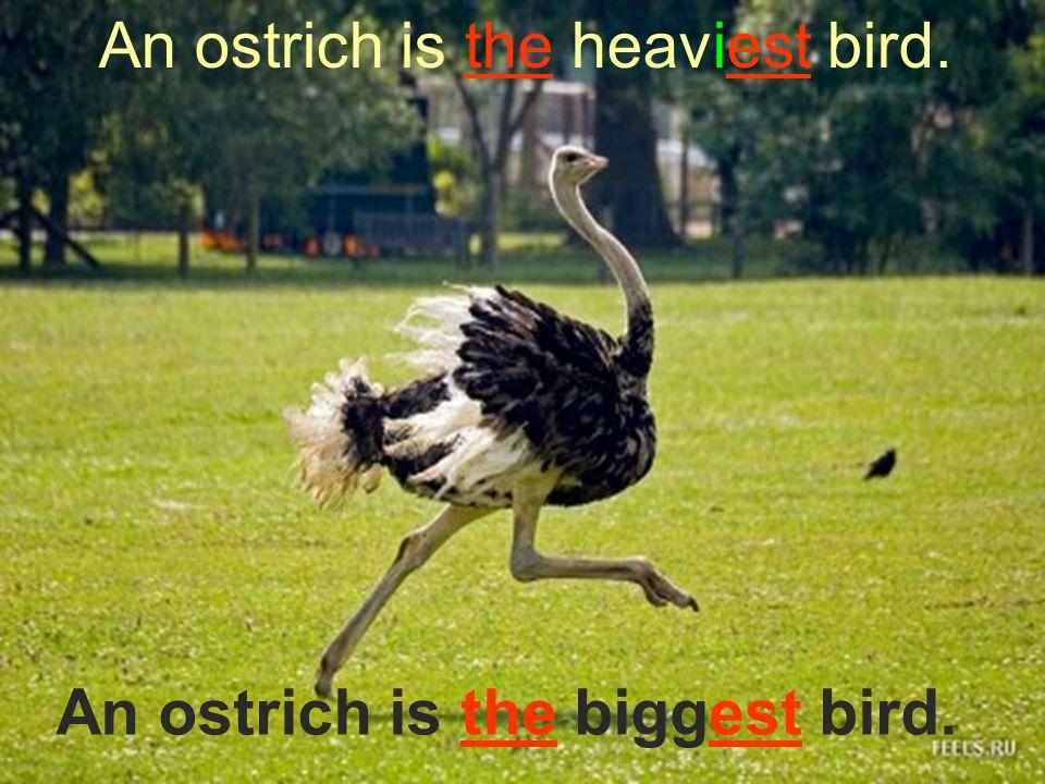 An ostrich is the heaviest bird.