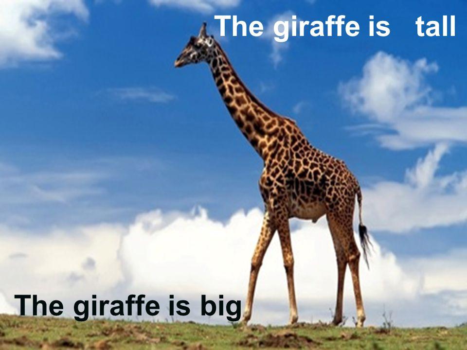 The giraffe is tall The giraffe is big