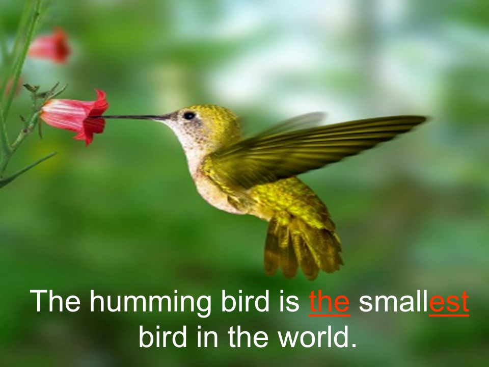 The humming bird is the smallest