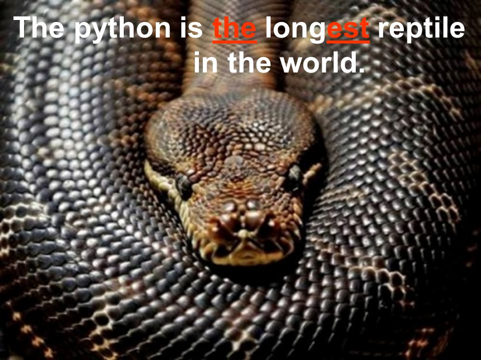 The python is the longest reptile