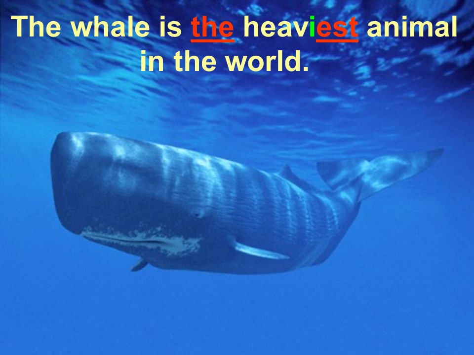 The whale is the heaviest animal