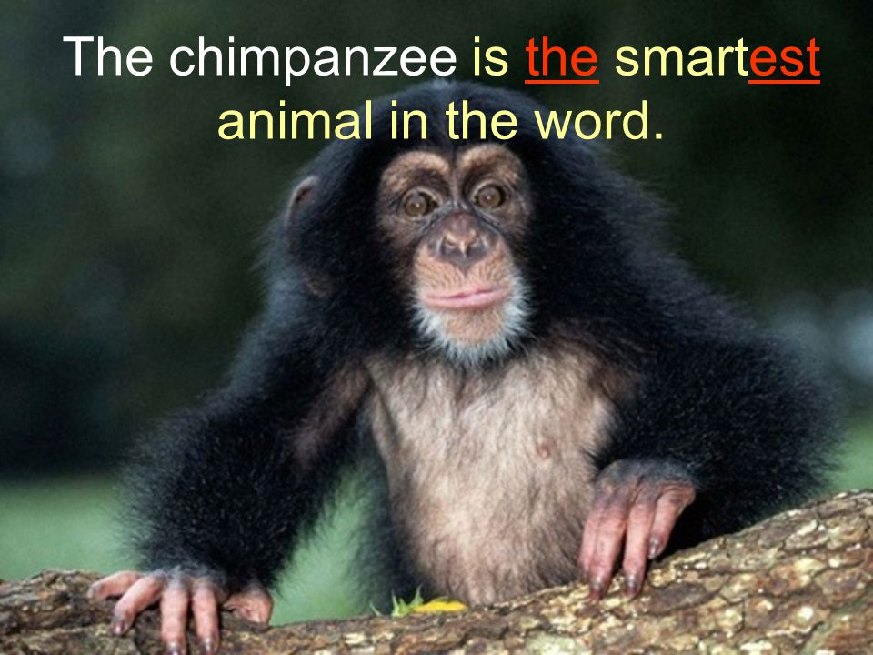The chimpanzee is the smartest animal in the word.