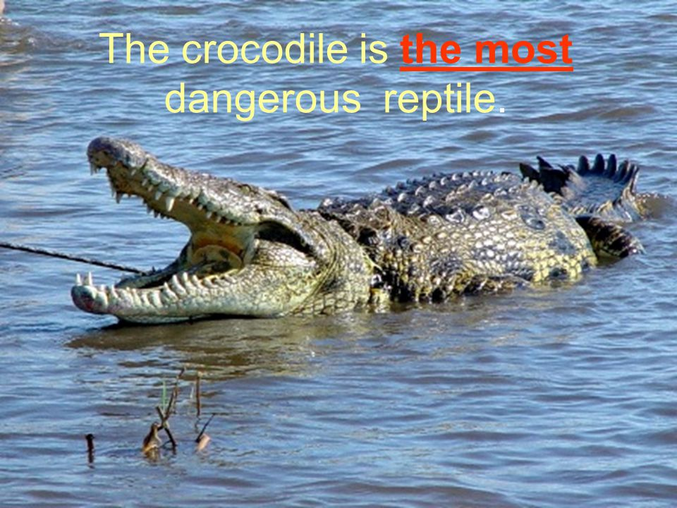 The crocodile is the most dangerous reptile.