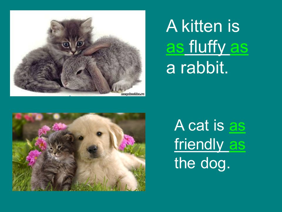 A kitten is as fluffy as a rabbit. A cat is as friendly as the dog.